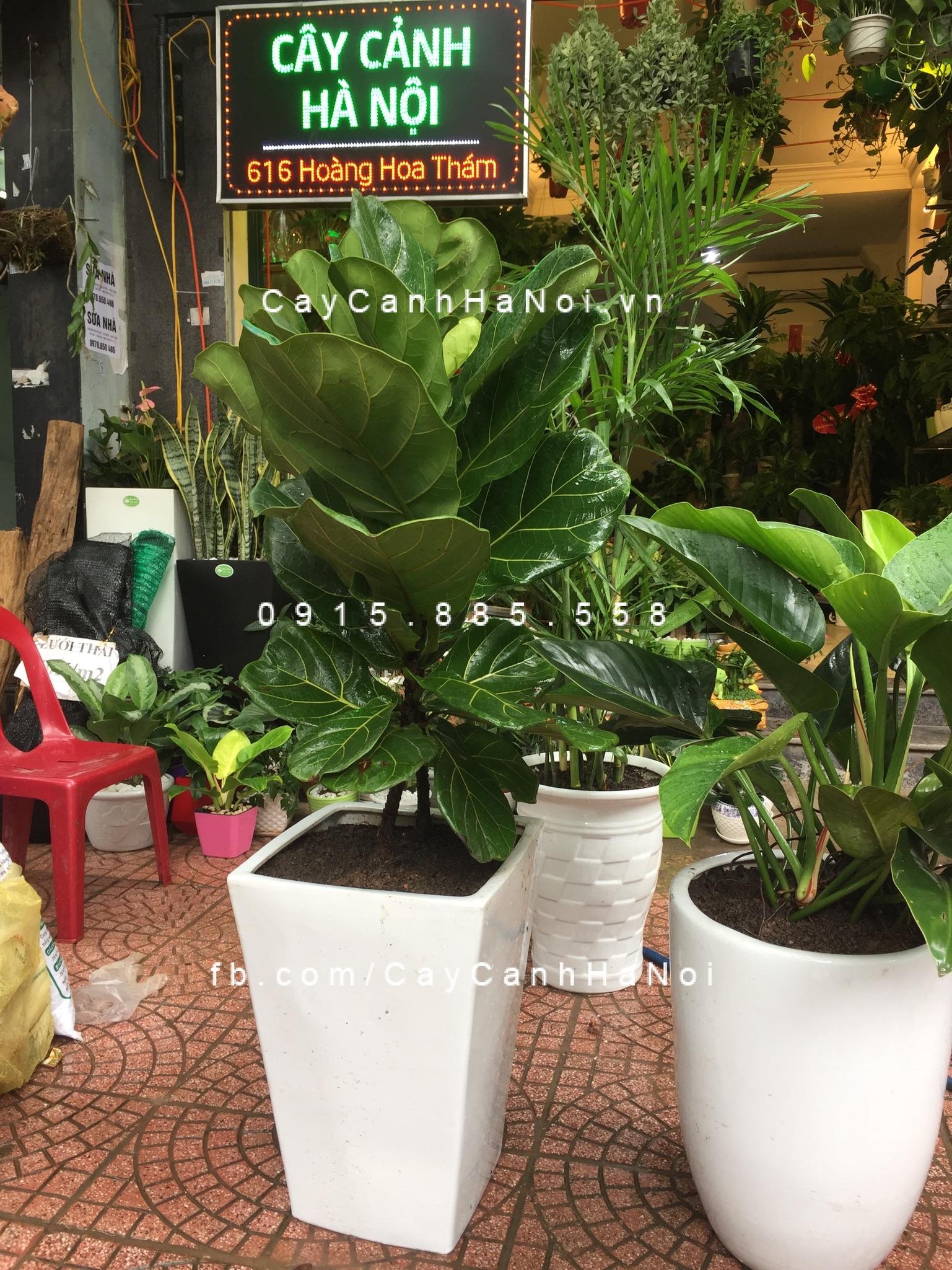 017b343c8376a4522fffbe38295983167143a08de2 Cây Bàng Singapore có ý nghĩa gì và cách chăm sóc có khó không?
