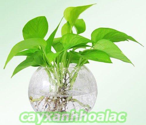 tim-hieu-cay-trau-ba Cây trầu bà và kỹ thuật trồng phù hợp bạn cần biết