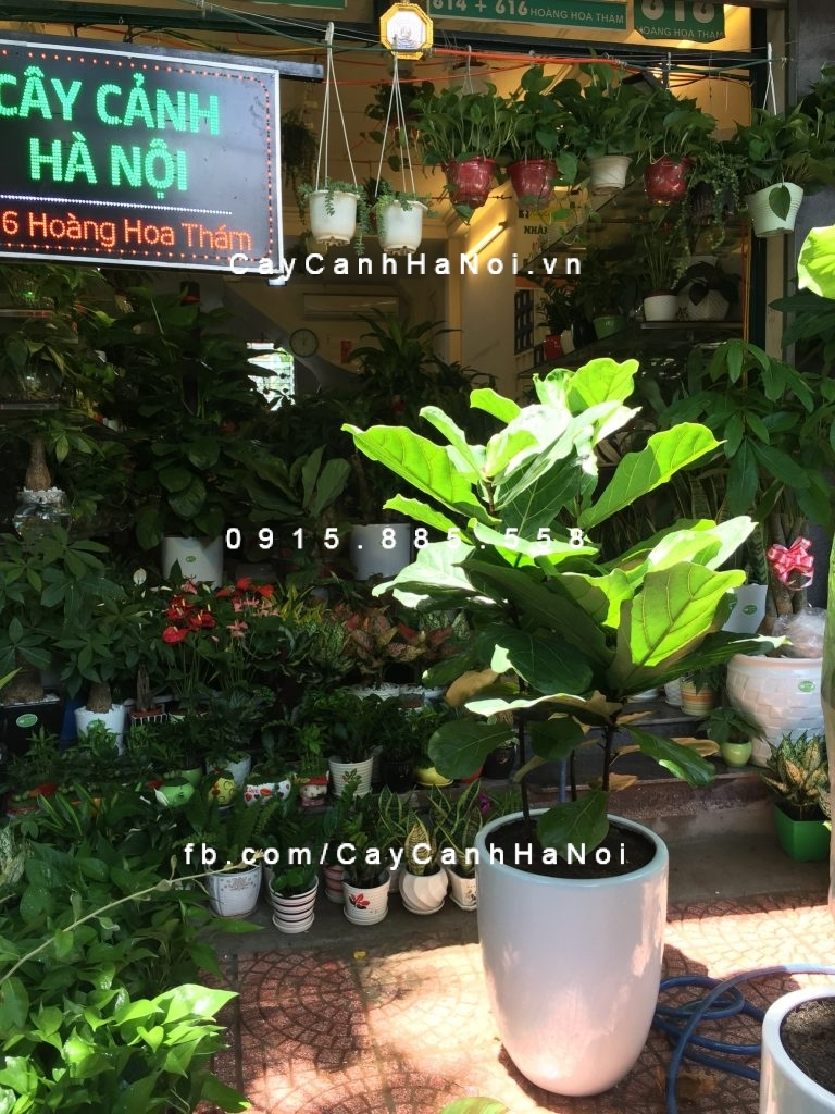 trong-cay-bang-singapoe-768x1024 Ý nghĩa của cây chịu nắng đối với cuộc sống hiện đại