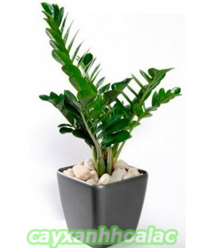 cay-kim-tien Cây kim tiền và kỹ thuật trồng cây bạn cần biết