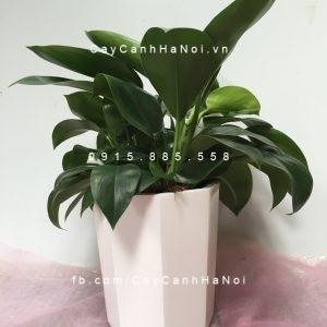 Kỹ thuật trồng cây đế vương