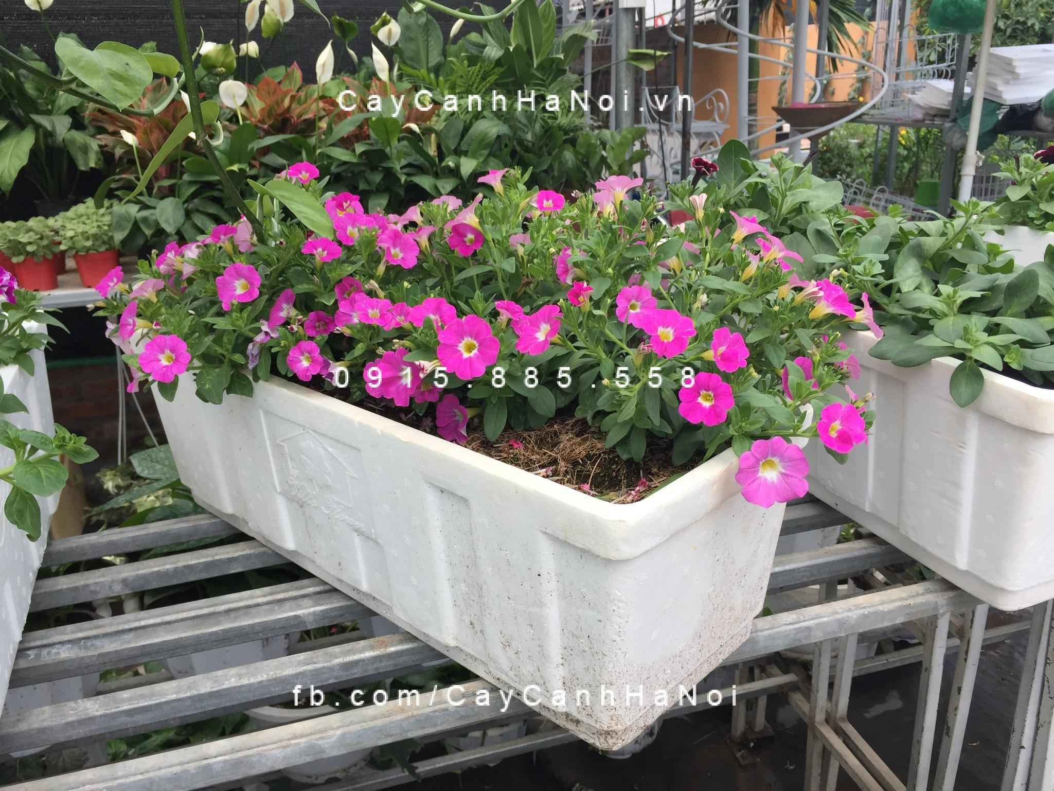 Kỹ thuật trồng hoa dạ yến thảo