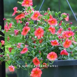 Kỹ thuật trồng hoa triệu chuông