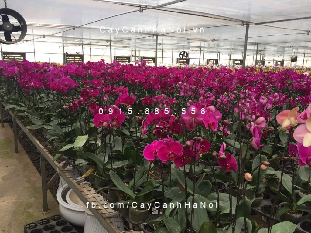 hoa-lan-ho-diep Hoa lan hồ điêp