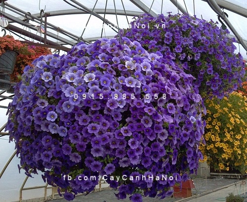 hoa-trieu-chuong Hoa triệu chuông