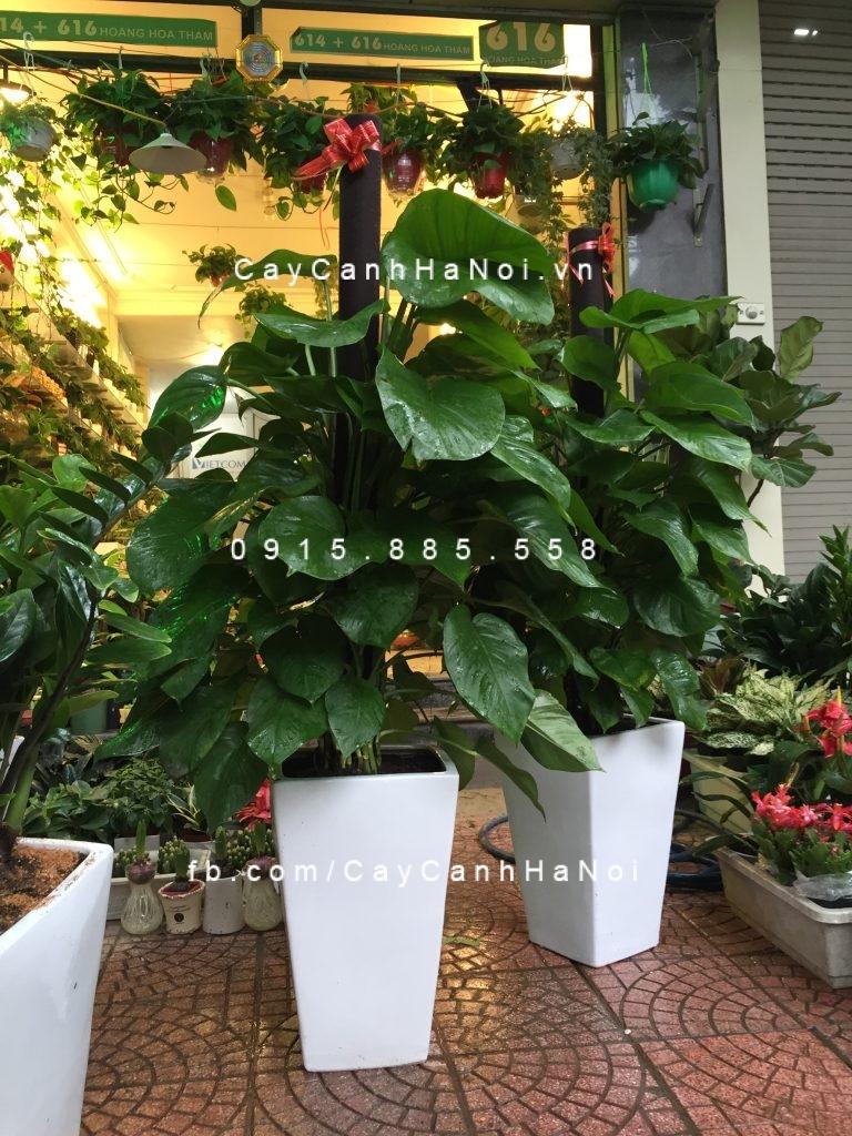vi-tri-Hoa-da-yen-thao-1024x768 Ở đâu cho thuê cây cảnh chuyên nghiệp, giá rẻ tại Hà Nội?