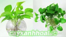 Tìm hiểu về cây trầu bà và cách trồng phù hợp
